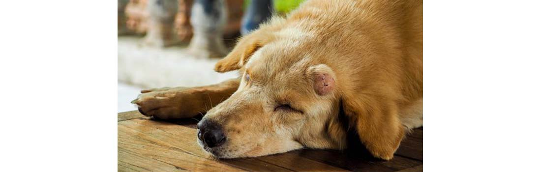 Dogs Canine Cancer