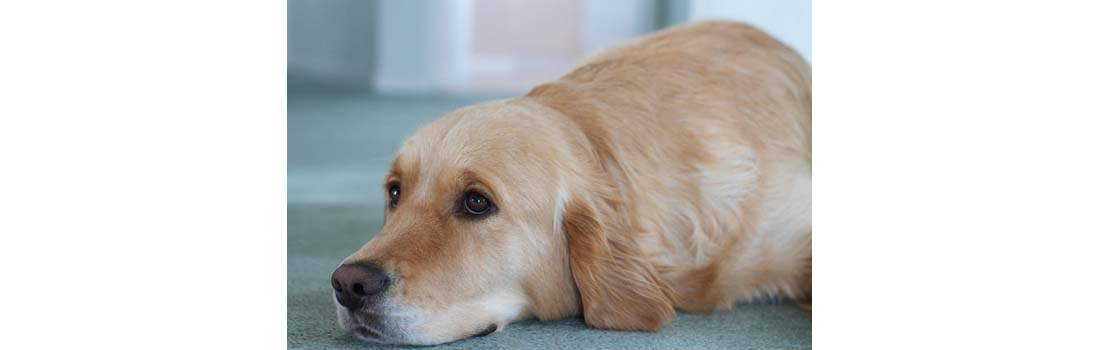 Canine Cancer Lymphoma