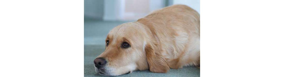 9 Dog Breeds Most Prone to Canine Cancer
