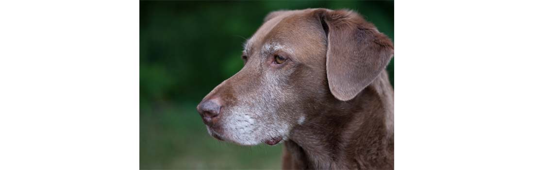 New Antibody Gives Fresh Hope For Canine Cancer Treatment