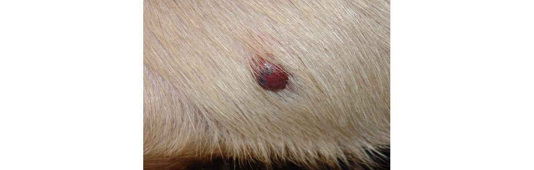 Canine Cancer Hemangiosarcoma: Everything You Must Know
