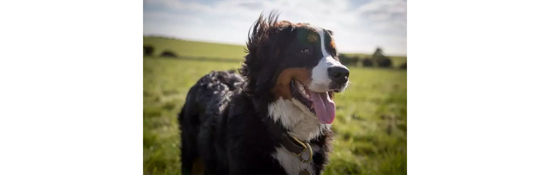 How Purebred Dogs Are Moving Cancer Research Forward
