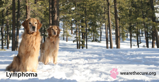 Lymphoma Canine Cancer