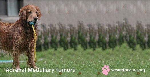 Adrenal Medullary Tumors