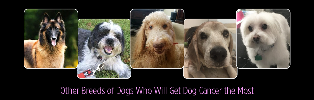 Other Breeds of Dogs Who Will Get Dog Cancer the Most