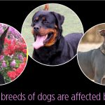 What working breeds of dogs are affected by dog cancer