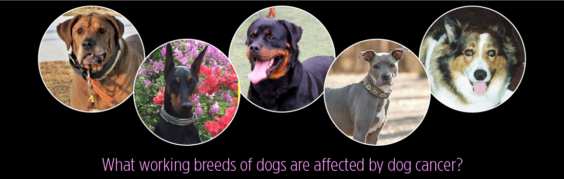These Working Breeds of Dogs are Affected by Dog Cancer