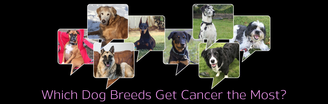 Which Dog Breeds Get Cancer the Most?