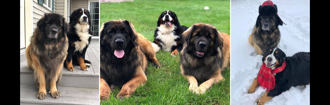 The Best of Ralph, Frank and Phil, Leonberger dog breed friends