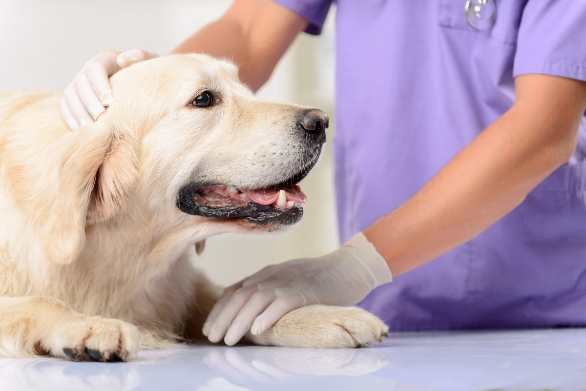 Canine Cancer Treatment - large dog in the vet